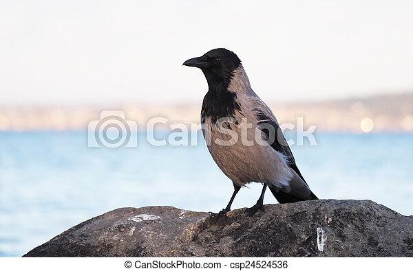 crow - csp24524536