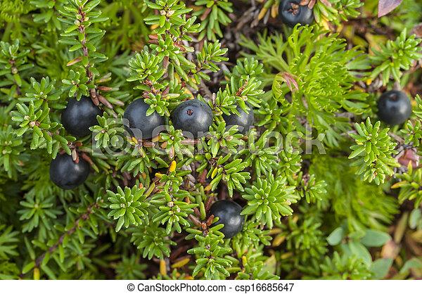 Crowberry bush - csp16685647