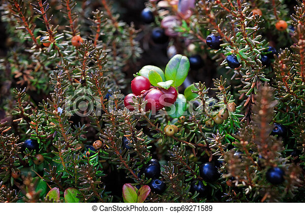 crowberry, lingonberry - csp69271589
