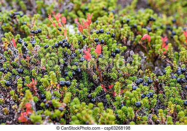 Crowberry in seiner natürlichen Form im Wald - csp63268198