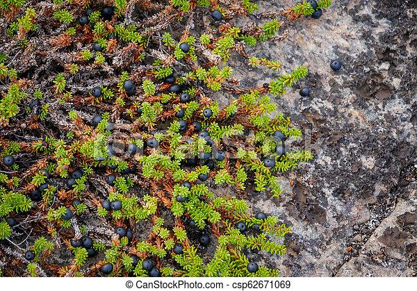Black Crowberry on rocks. Weißes Meer, Russland - csp62671069