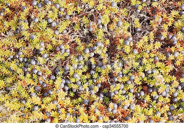 crowberry, schwarzer hintergrund, empetrum, blumen-, nigrum - csp34555700
