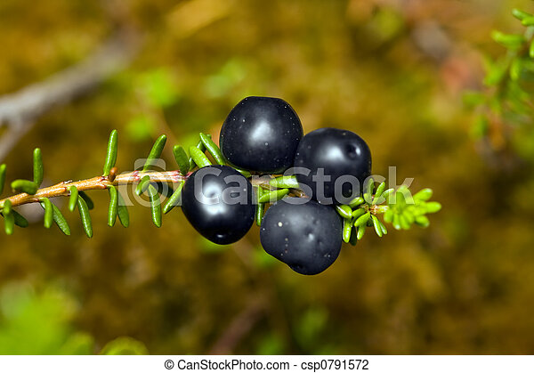 Crowberry - csp0791572