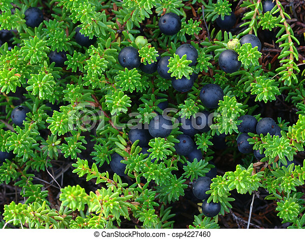 Crowberry - csp4227460