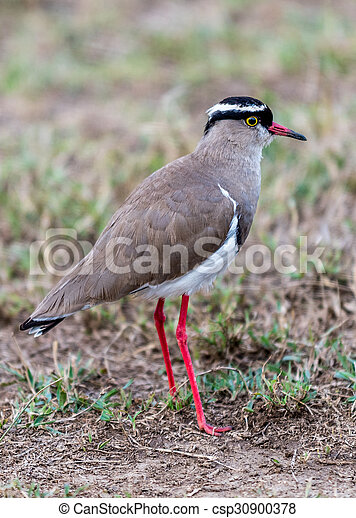 Crowned Plover - csp30900378