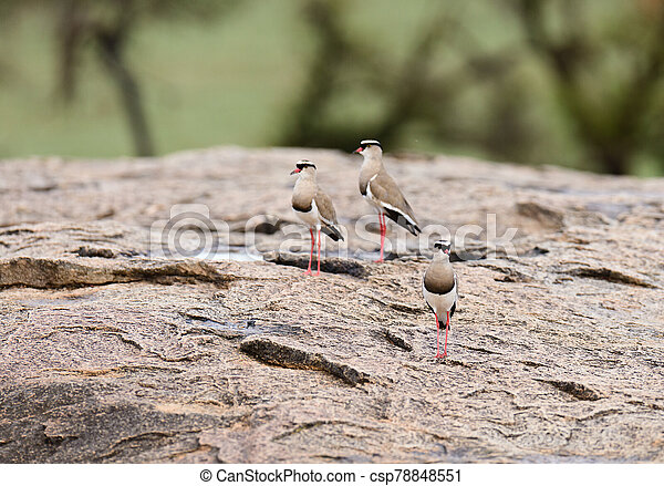 Crowned Plover - csp78848551