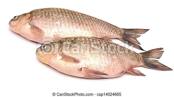 Crucian carp fish isolated on white background - csp14024665