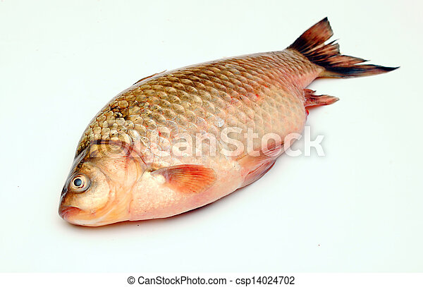 Crucian carp isolated on white background - csp14024702