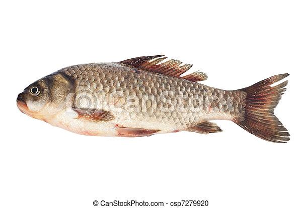 Crucian carp isolated on white background  - csp7279920