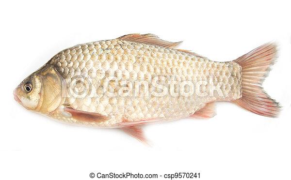 crucian carp on white background - csp9570241