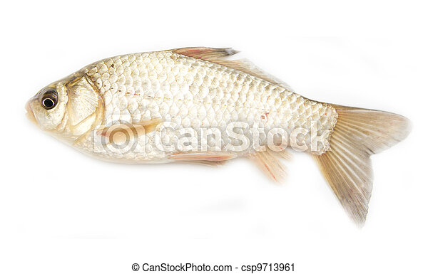 crucian carp on white background  - csp9713961