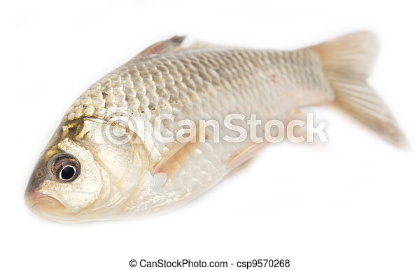 crucian carp on white background  - csp9570268