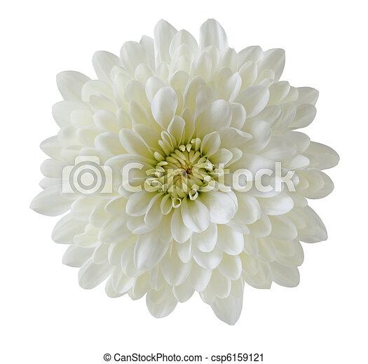 Eine weiße Chrysantheme - csp6159121
