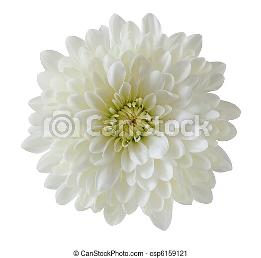 crysantheme, ledig, weißes - csp6159121