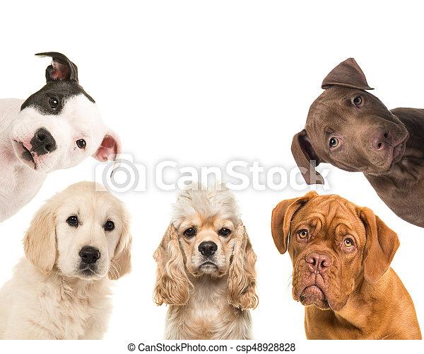 cuadrado, retratos, casta, perro, frente cámara, vario, plano de fondo, blanco