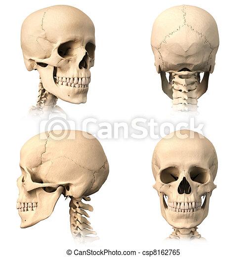 Cuatro, cráneo, humano, views. Detallado, skull., image., orthogonal ...