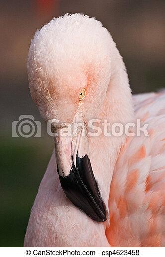 Cuban Flamingo - csp4623458