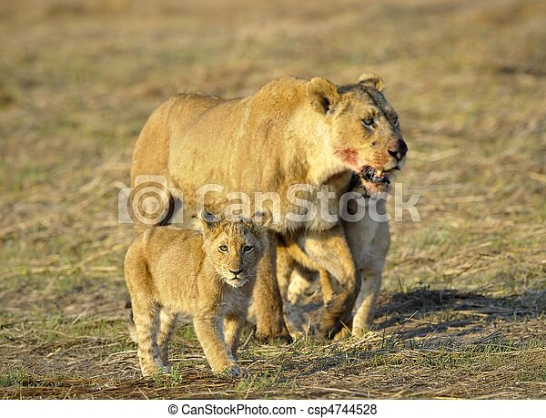 Har lurar ett lejon
