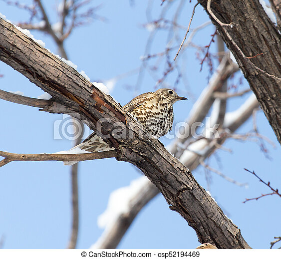Cuckoo on the tree in winter - csp52194469