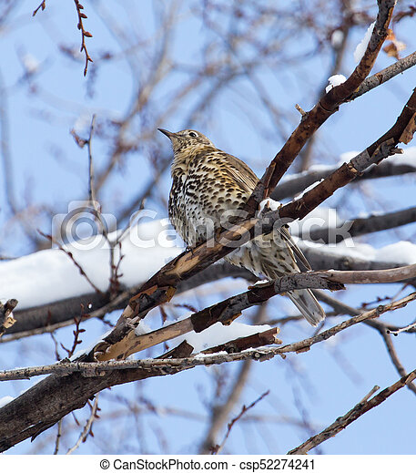 Cuckoo on the tree in winter - csp52274241