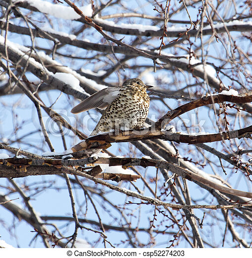 Cuckoo on the tree in winter - csp52274203