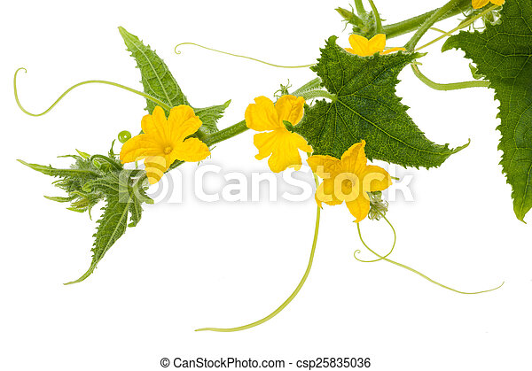 Cucumber flowers and leaves isolated on white.