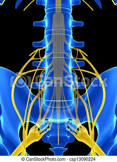 La médula espinal - csp13090224