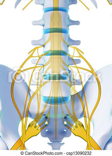 La médula espinal - csp13090232
