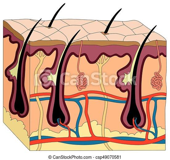 Cuerpo, anatomía, diagrama, piel humana. Todos, figura, suministro ...