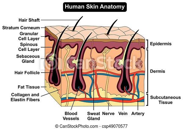 Cuerpo, anatomía, diagrama, piel humana. Todos, figura ...