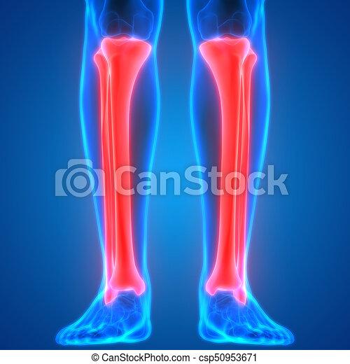 Cuerpo, anatomía humana, coyuntura, (tibia, dolores, hueso, fibula ...