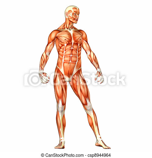 Cuerpo, anatomía, macho. Cuerpo, aislado, ilustración,... dibujo ...