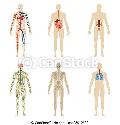 Cuerpo, conjunto, vitalidad, sistemas, humano, órganos.... clipart ...