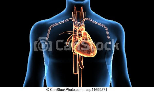 Cuerpo, corazón, ilustración, anatomía, humano, 3d. Corazón ...