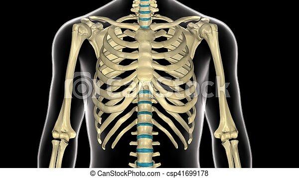 Cuerpo, costillas, ilustración, anatomía, humano, jaula, 3d. Lamprey ...