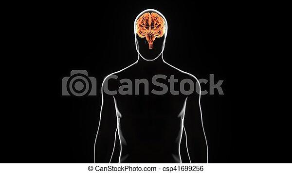 Una ilustración 3D de la anatomía del cráneo humano - csp41699256