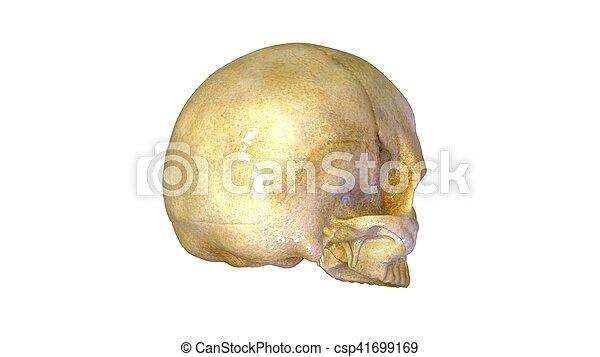 Una ilustración 3D de la anatomía del cráneo humano - csp41699169