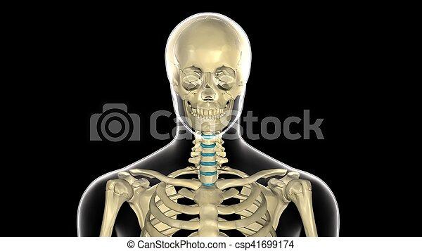Cuerpo, cráneo, ilustración, anatomía, humano, 3d.... imagen ...