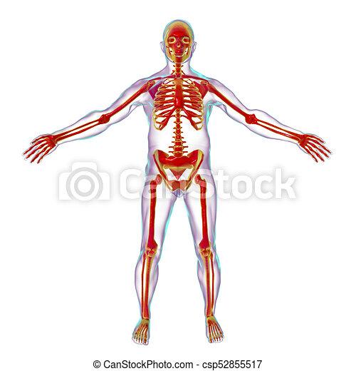 Cuerpo, dentro, macho, esqueleto. Cuerpo, esqueleto, ilustración ...
