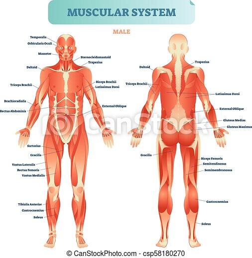 Cuerpo Educativo Lleno Poster Sistema Muscular Diagrama Anatómico Vector Ilustración Macho Esquema Músculo