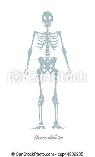 Cuerpo, esqueleto humano, white., aislado. Cuerpo, plano, vector ...