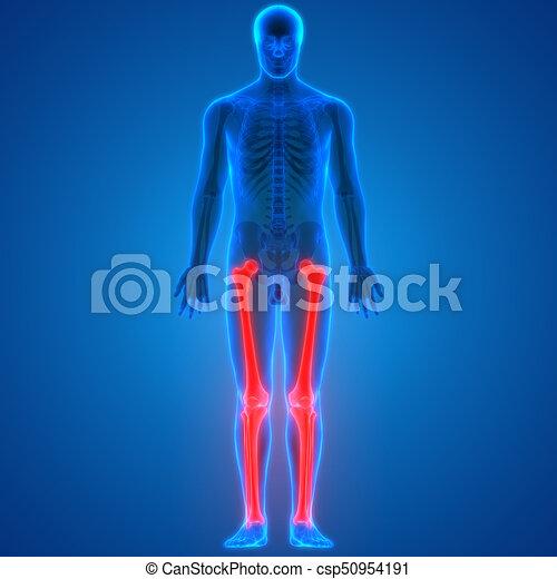 Cuerpo, humano, tibia)), anatomía, coyuntura, dolores, (femur, hueso ...