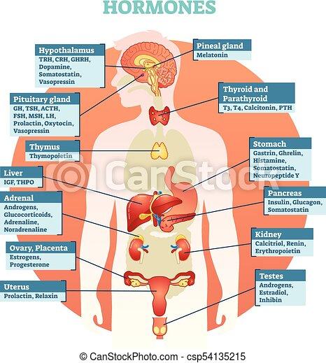 Cuerpo, ilustración, diagrama, vector, humano, hormonas. Cuerpo ...