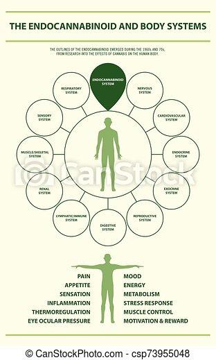 cuerpo, infographic, vertical, endocannabinoid, sistemas - csp73955048