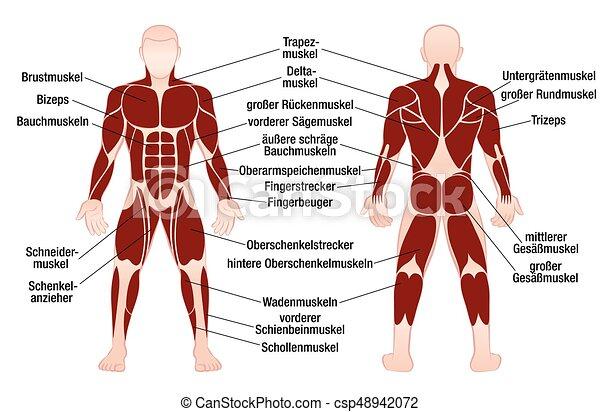 Cuerpo, músculos, alemán, gráfico, muscular, nombres, macho. Cuerpo ...