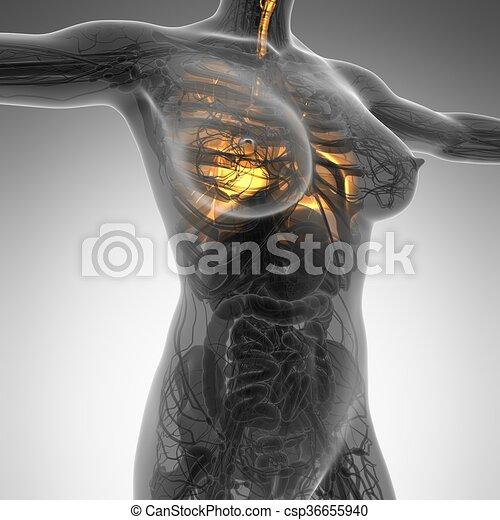 Cuerpo, mujer, pulmones, ciencia, anatomía, brillo.