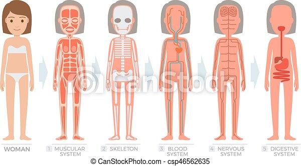 Cuerpo Mujer Sistema Anatomía Humano Estructura