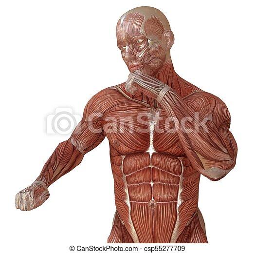 Cuerpo, piel, músculos, aislado, ilustración, anatomía, sin, blanco ...