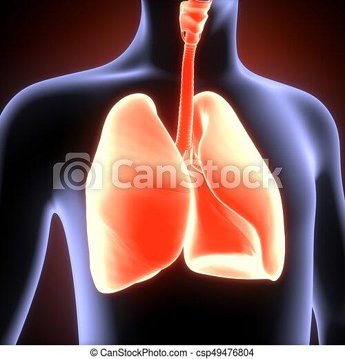 Cuerpo, pulmones, ilustración, anatomía, humano, 3d. Pez ...