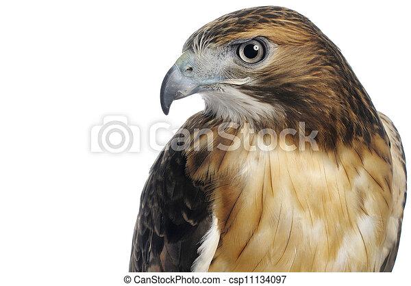 Un halcón de cola roja y un tiro en la cabeza aislado en un fondo blanco. - csp11134097
